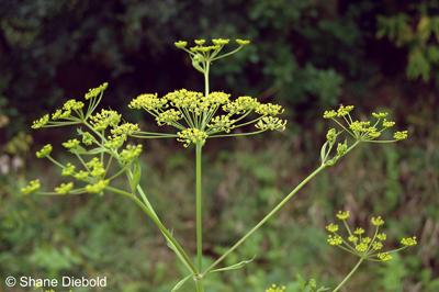 Poisonous Plants Lower Beverley Lake Association